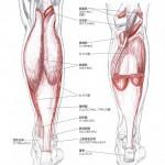 膝下筋・下腿三頭筋