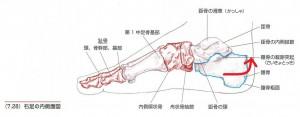 足の症状に関係する踵骨の歪み