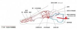 足首の症状に関係する踵の骨の歪み