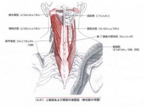 頭板状筋・頭半棘筋